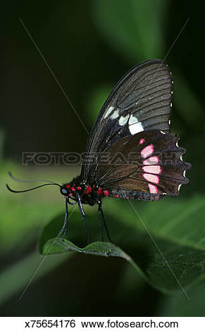 Stock Images of Papilio rumanzovia, Scarlet swallowtail x75654176.