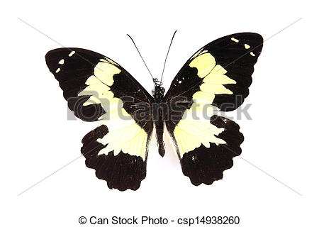 Stock Image of Papilionidae:Black and yellow butterfly isolated on.