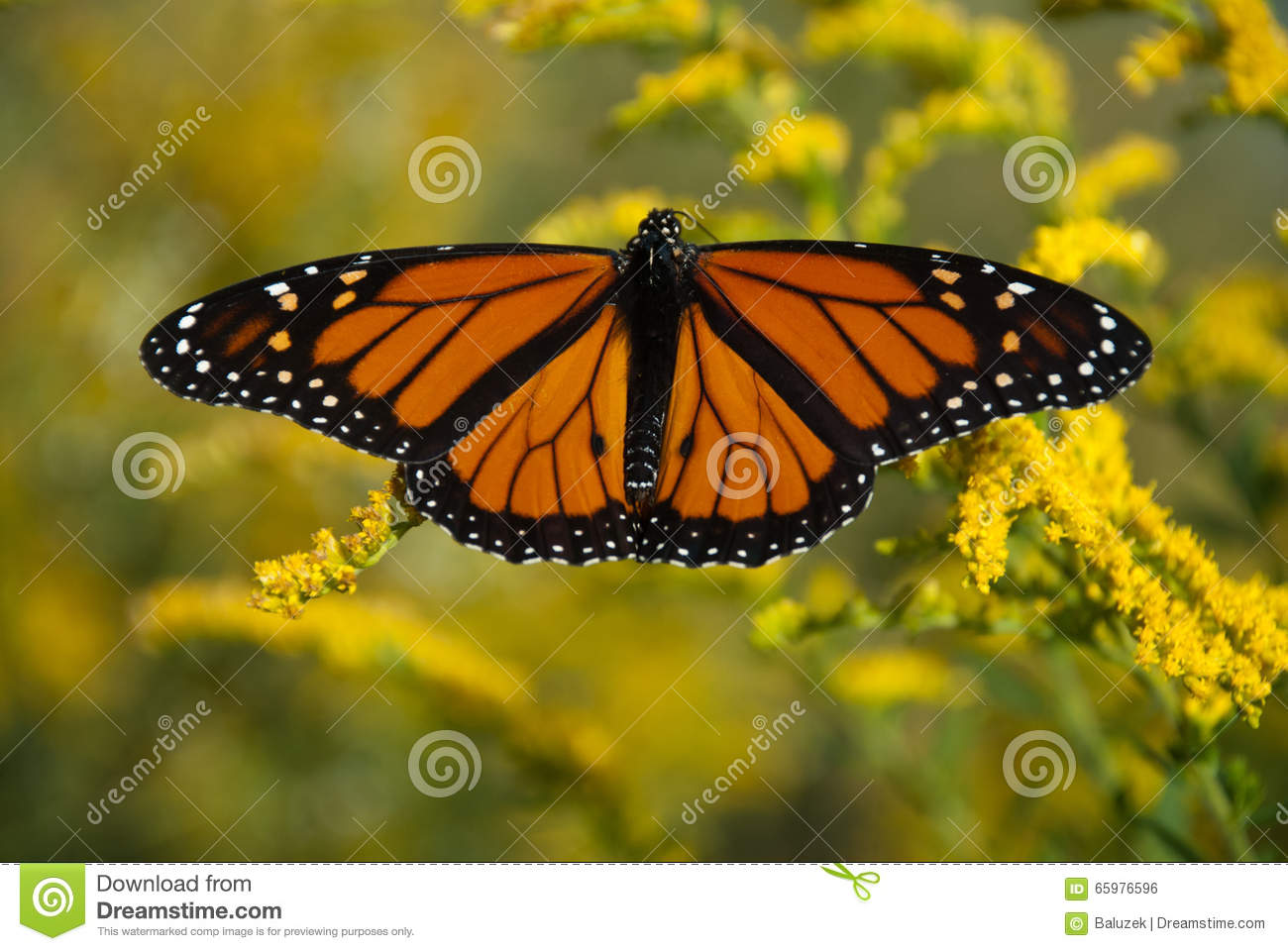 Swallowtail Is A Butterfly Of The Family Papilionidae. Stock Photo.