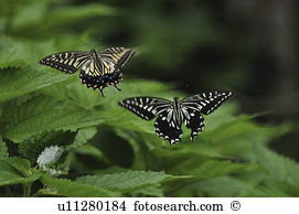 Swallowtail butterfly Stock Photos and Images. 4,379 swallowtail.