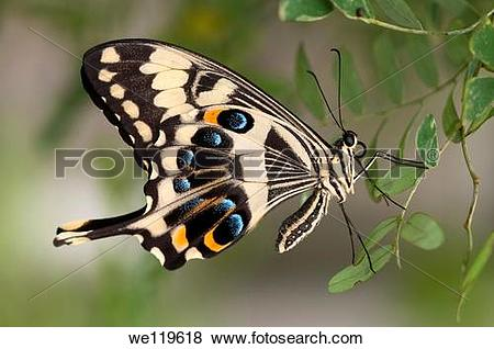 Pictures of Emperor Swallowtail, Papilio ophidicephalus.