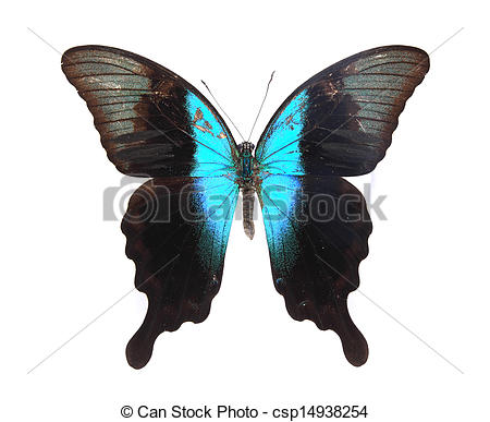 Stock Images of Papilionidae:Blue and black butterfly on a lonely.