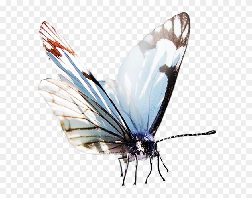 Butterfly Papillon Dog Clip Art Transprent Png.