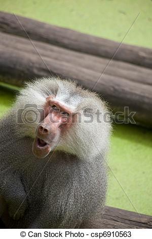 Stock Photos of Old baboon, Papio hamadryas.