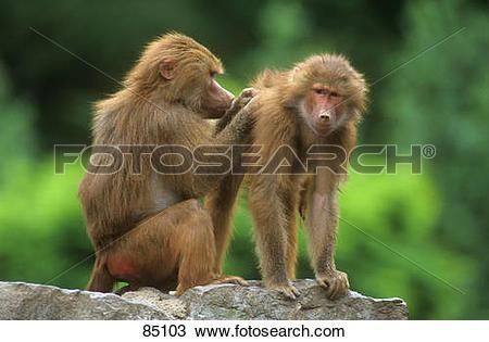 Stock Photo of two Hamadryas Baboons / Papio hamadryas 85103.