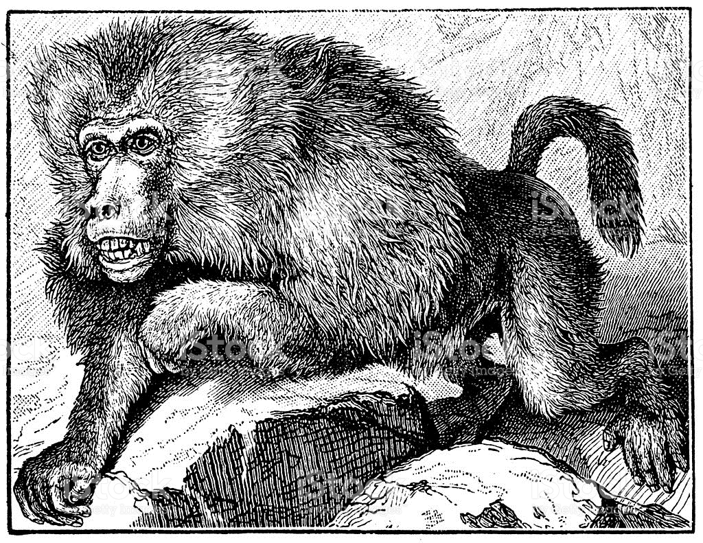 Antique Illustration Of Hamadryas Baboon stock vector art.