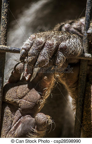 Stock Photographs of Hamadryas baboon (Papio hamadryas) hand.
