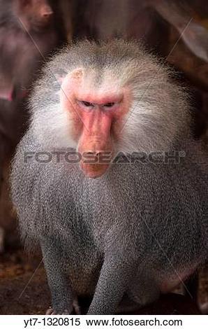 Stock Image of Adult male Papio Hamadryas baboon yt7.