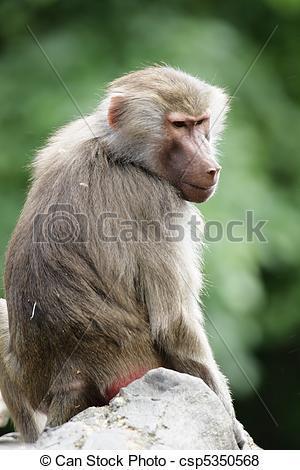 Pictures of Hamadryas Baboon (Papio hamadryas) sitting on a rock.