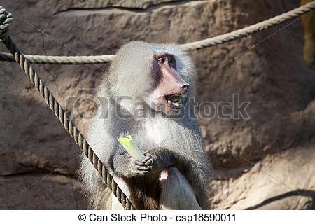 Stock Photography of Baboon (Papio hamadryas).