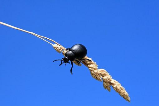 Black, Beetle.