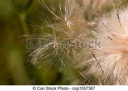 Picture of Pappus and flower.