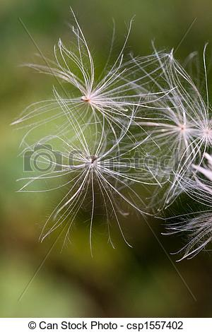 Stock Photo of Flying pappus.