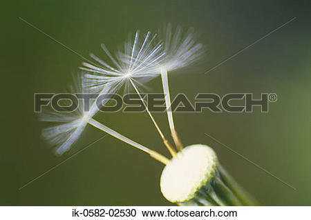 Stock Photography of Dandelion with Pappus ik.