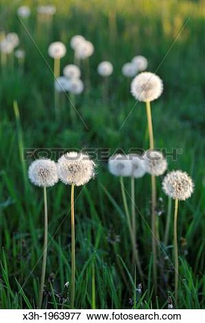 Picture of pappus of Taraxacum or Dandelion flower heads. x3h.