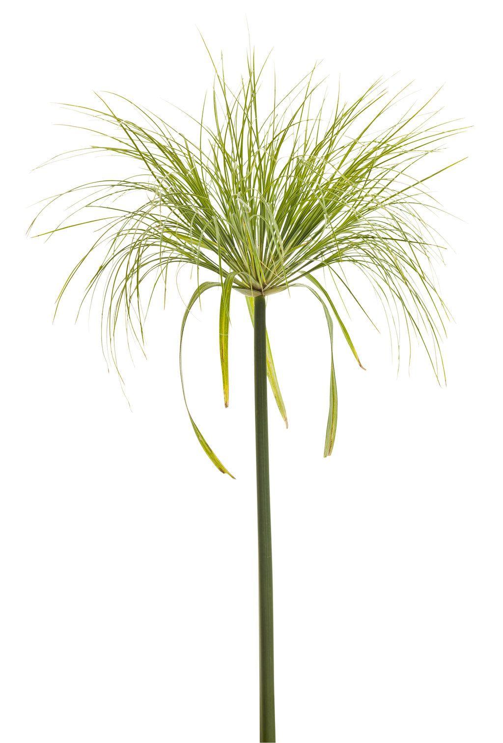 Graceful Grasses® King Tut®.