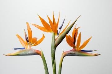 Search photos strelitziaceae.