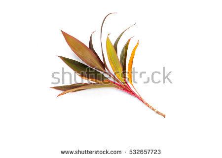 """""""garden Croton"""" Stock Photos, Royalty."""