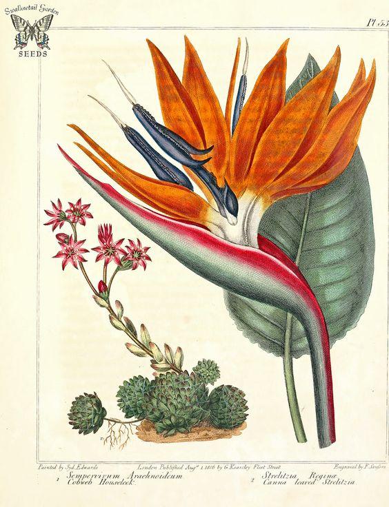 Cobweb Houseleek (Sempervivum arachnoideum), and Bird of Paradise.
