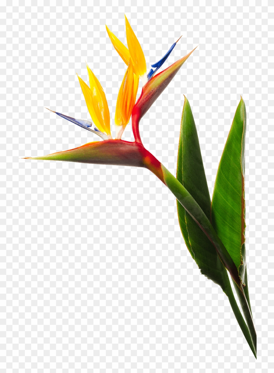 Birds Of Paradise Flower.