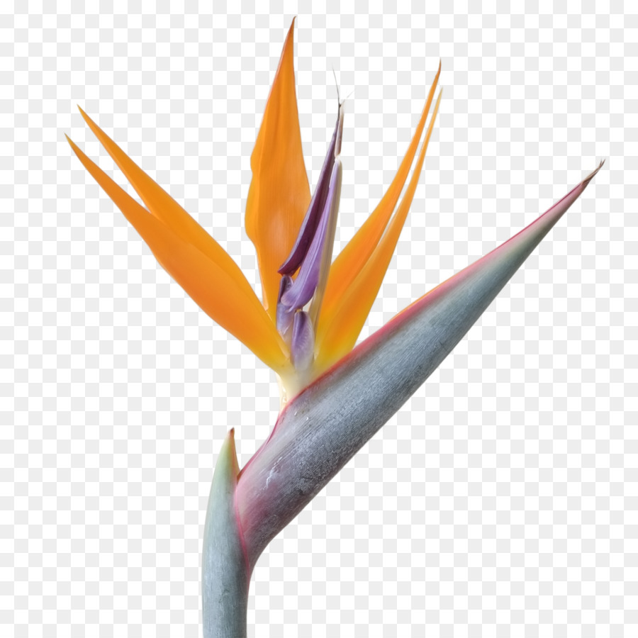 Bird Of Paradise png download.