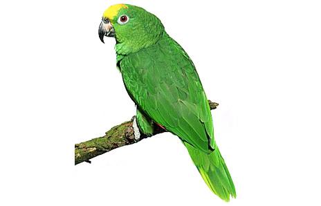 Green parakeet clipart.