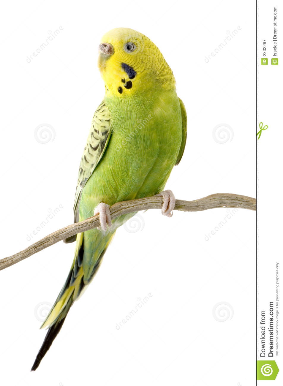 Pair Of Parakeets Clipart.