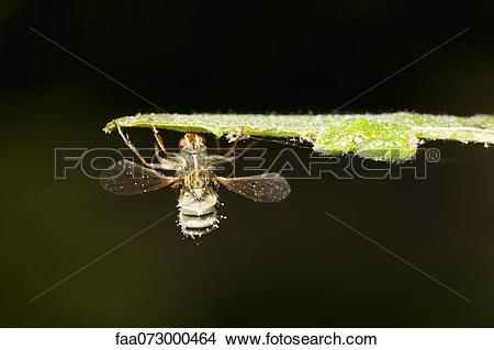 Stock Photo of Hoverfly (Diptera syriphidae) killed by parasitic.