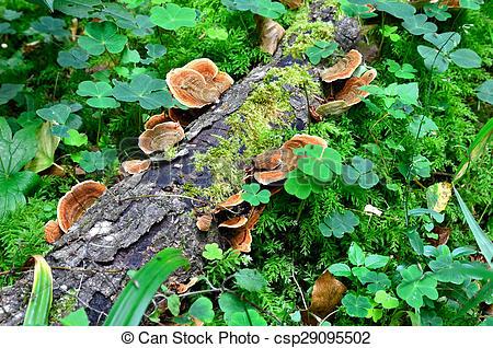Stock Photography of Ganoderma lucidum.