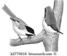 Paridae Stock Illustration Images. 7 paridae illustrations.