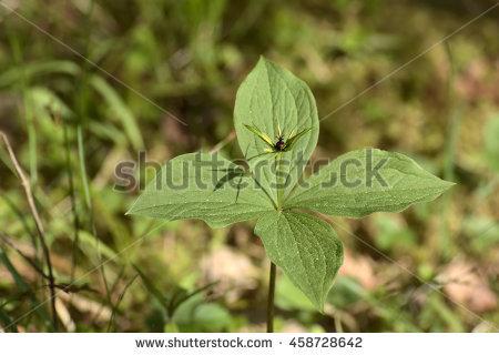 Quadrifolia Stock Photos, Royalty.