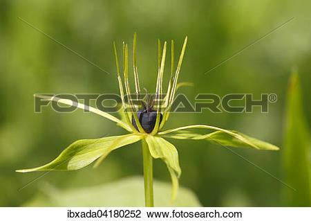 Stock Photo of Vierblattrige Einbeere (Paris quadrifolia), Blute.