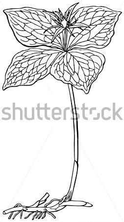 Plant Paris Quadrifolia stock vector.