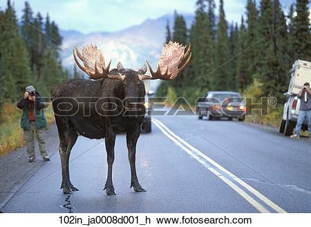 Stock Photo of Bull moose blocking traffic on main Park Road in.