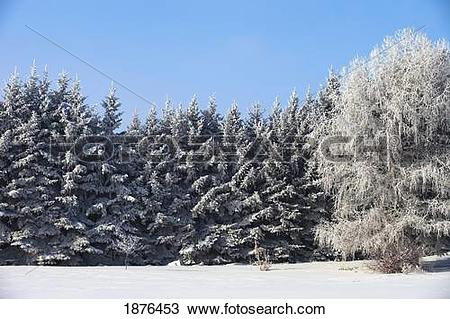 Stock Photo of Parkland County, Alberta, Canada; Trees Covered In.