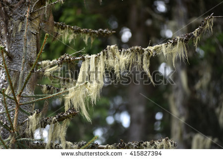 Parmeliaceae Stock Photos, Royalty.