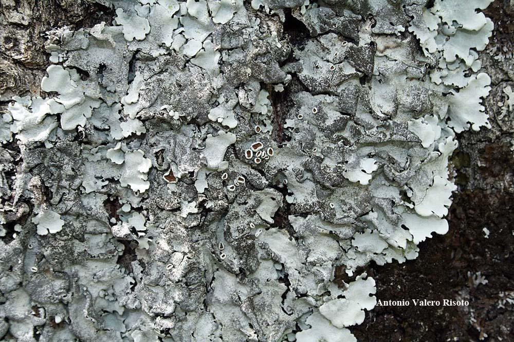 Lichens marins.