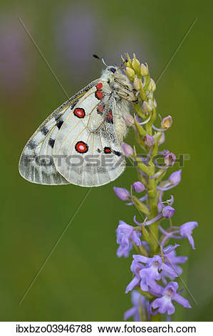 """Pictures of """"Apollo Butterfly (Parnassius apollo) on a Short."""