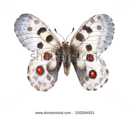 Apollo Parnassius Apollo Endangered European Butterfly Stock Photo.