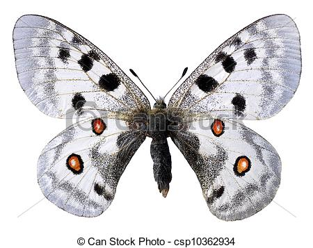 Drawings of Isolated parnassius apollo.