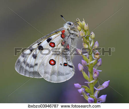 """Picture of """"Apollo Butterfly (Parnassius apollo) on a Short."""