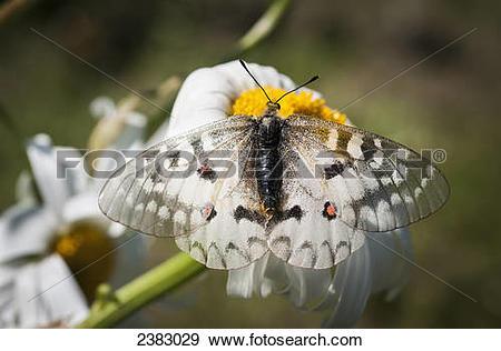 Stock Photograph of An Apollo Butterfly (Parnassius apollo) seeks.