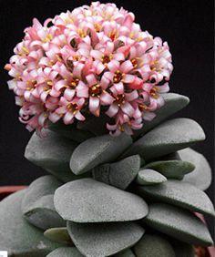 Echinocereus genus. Picture:Echinocereus Fendleri.