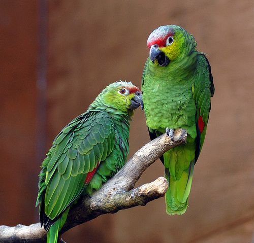 1000+ images about Parrots on Pinterest.