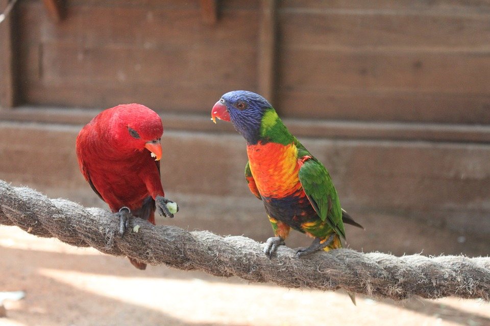 Free photo: Parrot, Animal, Red, Bird, Birds.