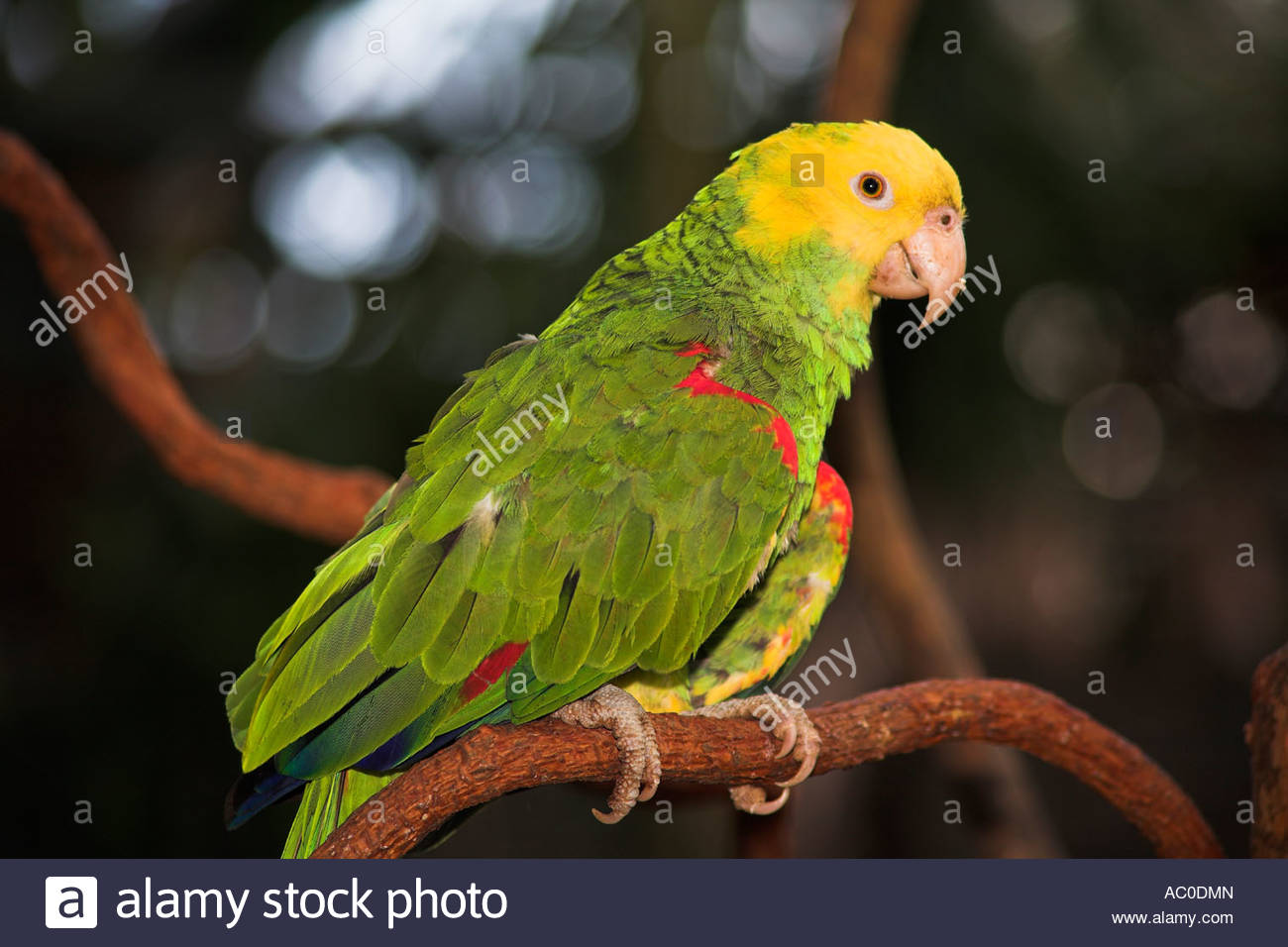 Yellow Headed Parrot, Loro Cabeza Amarilla, Amazona Oratrix.