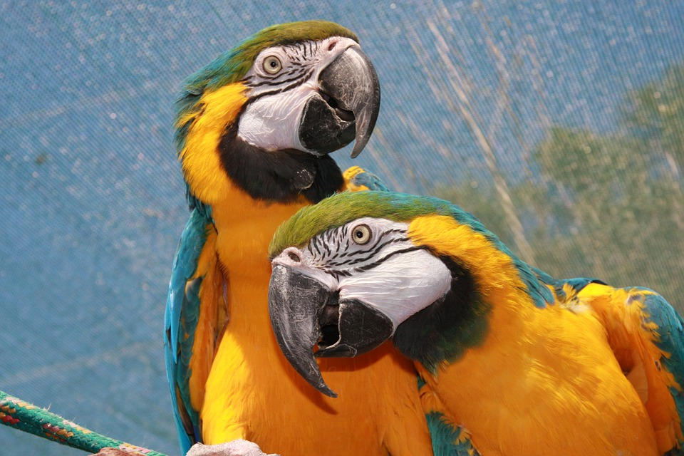 Free photo: Parrot, Yellow, African Parrot.