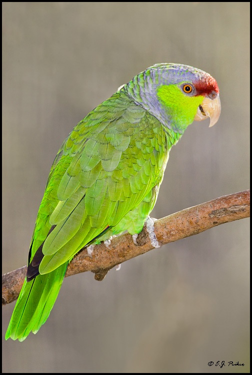 1000+ images about Parrot Species on Pinterest.