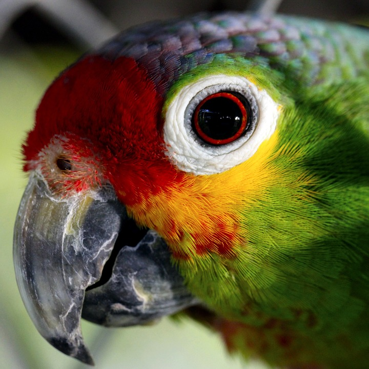 Free photo: Parrot, Ave, Captivity, Animals.