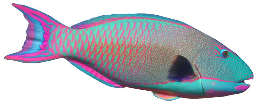Parrot Fish Clipart.
